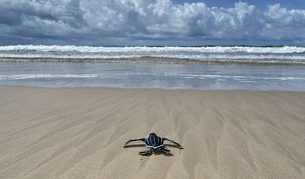 baby leatherback turtle - leatherback stockfoto's en -beelden