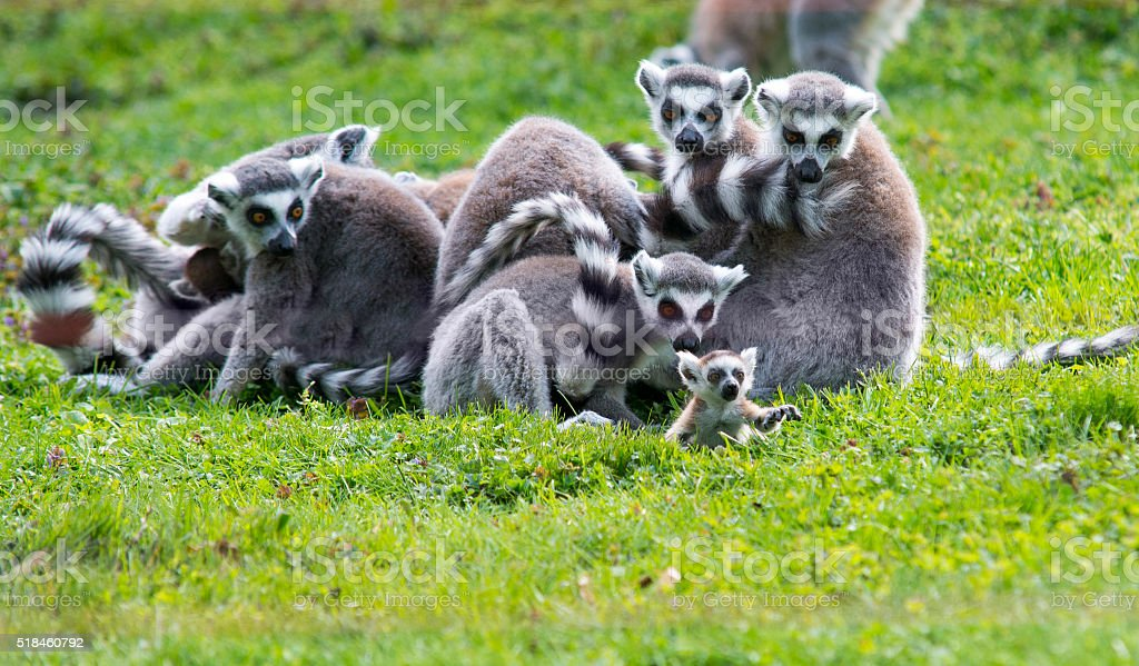 baby lemur with family - Royalty-free Animal Stock Photo