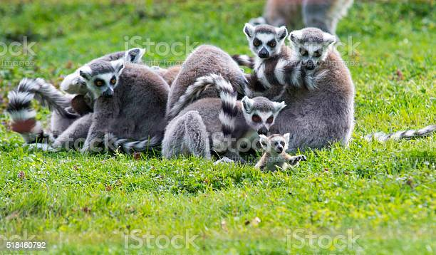 Baby Lemur With Family Stock Photo - Download Image Now