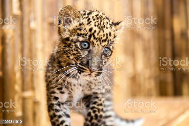 Baby leopard cub with a curious look on its face picture id1059311910?b=1&k=6&m=1059311910&s=612x612&h=fgrwmcih12ozr3emgf2ts5pual9ffyt1rqkbklcxpgk=