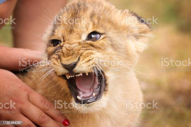 Baby lion in hand with open mouth picture id1132464267?b=1&k=6&m=1132464267&s=612x612&h=ypjqjn1ktwqpxmyrhwyvhvc6p8unbrnssrxa3p07bk4=