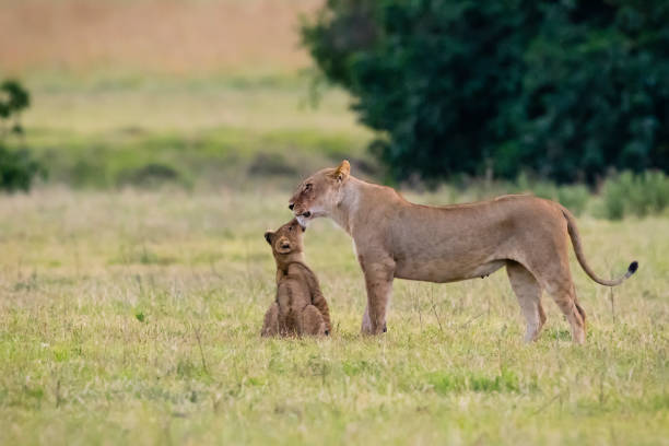 Baby lion kissing mother, Africa Female lion with baby in Africa, Tanzania, Ngorongoro crater. female animal stock pictures, royalty-free photos & images