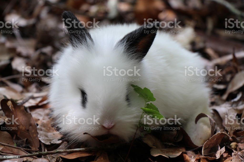 Bebek Lionhead tavşan royalty-free stock photo