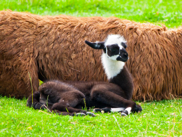 Baby llama. Cute and funny south american mammal stock photo
