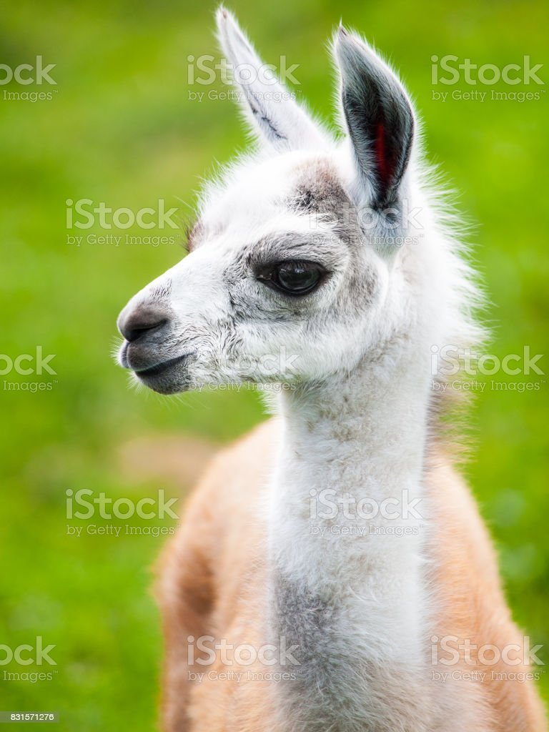 Human llama face