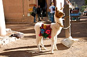 A baby llama, or cria as it's called, is tied up on a pole waiting for tourists to come and take a photo. It's very popular llamas in this part of Argentina. They're very enterteining, and mischievous.