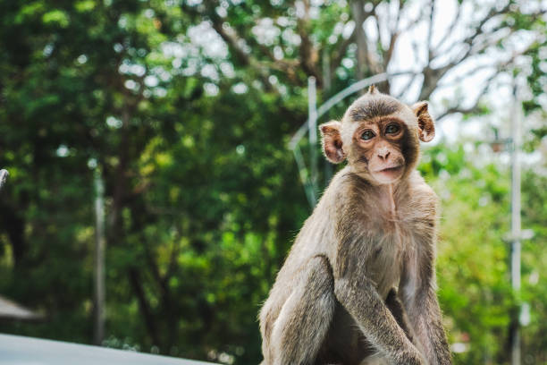 baby long-tailed macaque monkeys relaxing - macaco foto e immagini stock