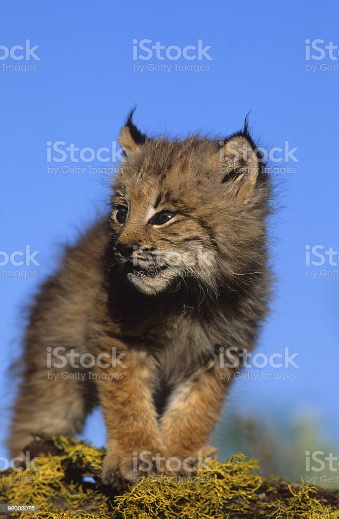 Baby Lynx royalty-free stock photo