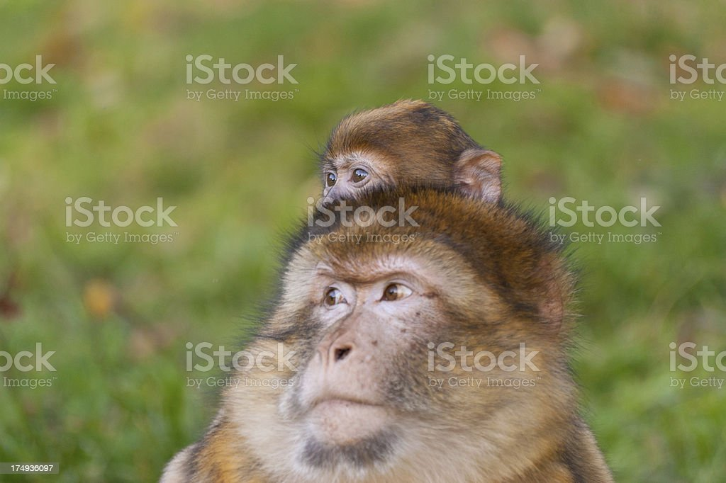 Baby Macaque on his mothers shoulders royalty-free stock photo