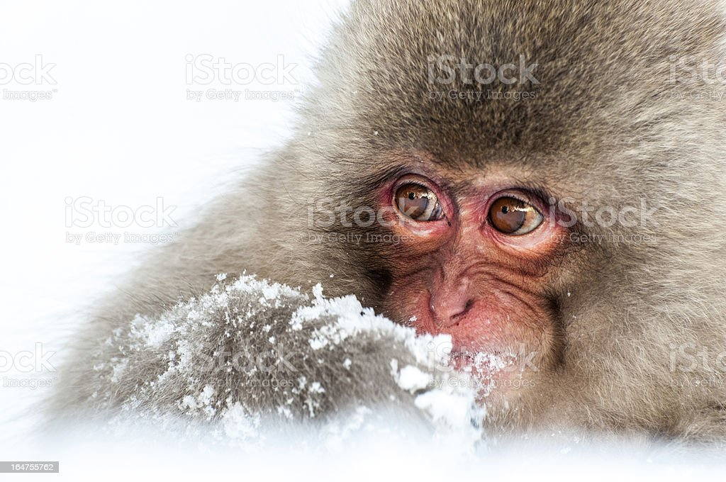 Baby Macaque royalty-free stock photo