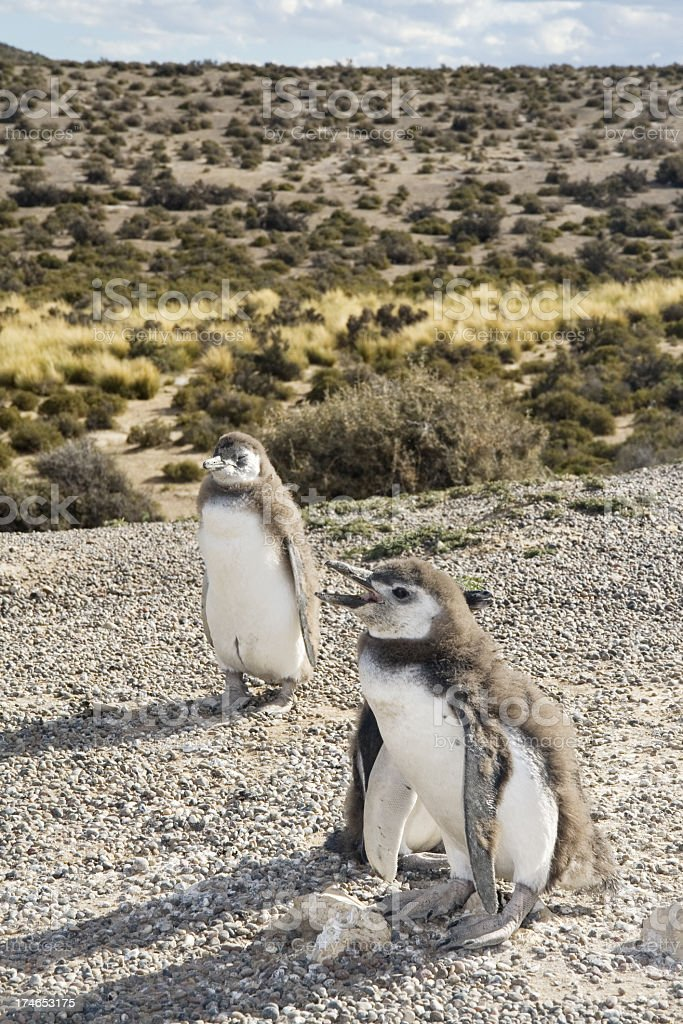 Baby magellanic penguins stock photo