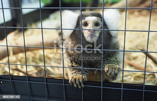 Cute baby Marmoset monkey in the cage