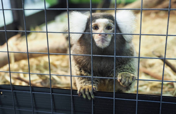 baby Marmoset monkey in the cage baby Marmoset monkey in the cage Cute baby Marmoset monkey in the cage marmoset stock pictures, royalty-free photos & images
