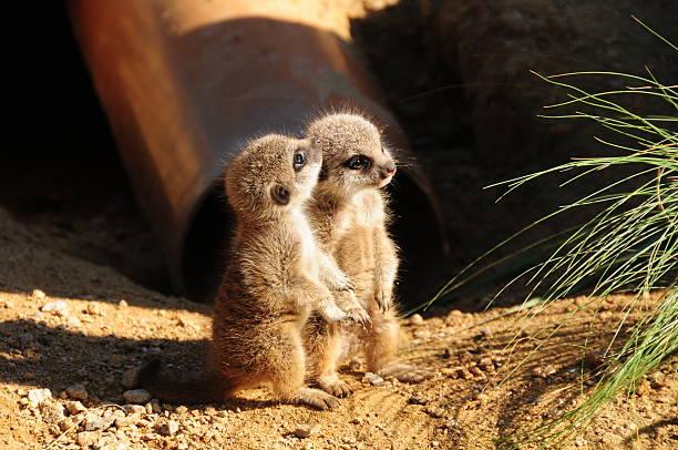 baby meerkats. - meerkat stock photos and pictures