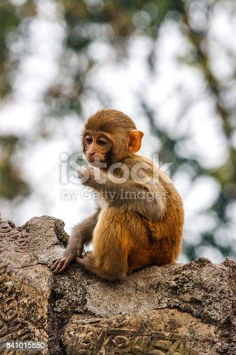 Macacus baby monkey living in the Swayambu Nath Temple, Kathmandu, Nepal