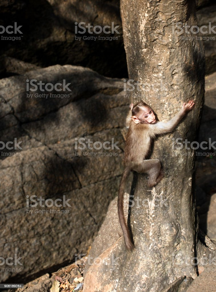 Baby monkey climbs a tree against a background of rocks stock photo