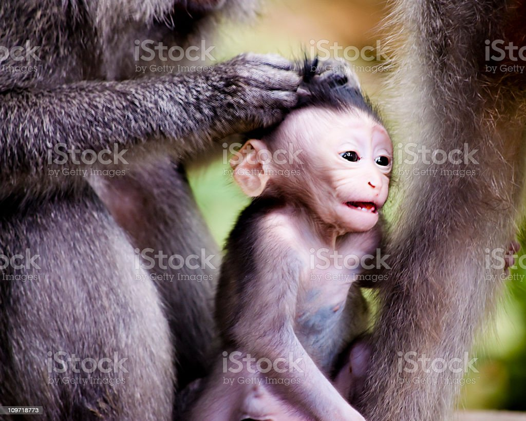 Baby Monkey Grooming royalty-free stock photo