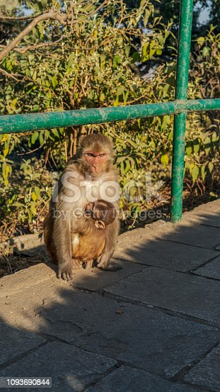 Baby Monkey hug mather in temple