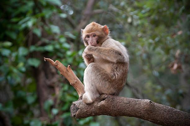 bébé singe macaque sylvana dans le nord de l'afrique - singe magot photos et images de collection