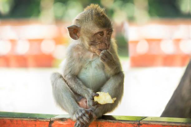 bébé singe - singe magot photos et images de collection
