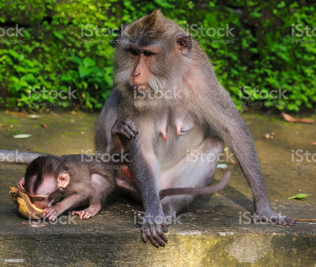 Baby monkey with his mom stock photo