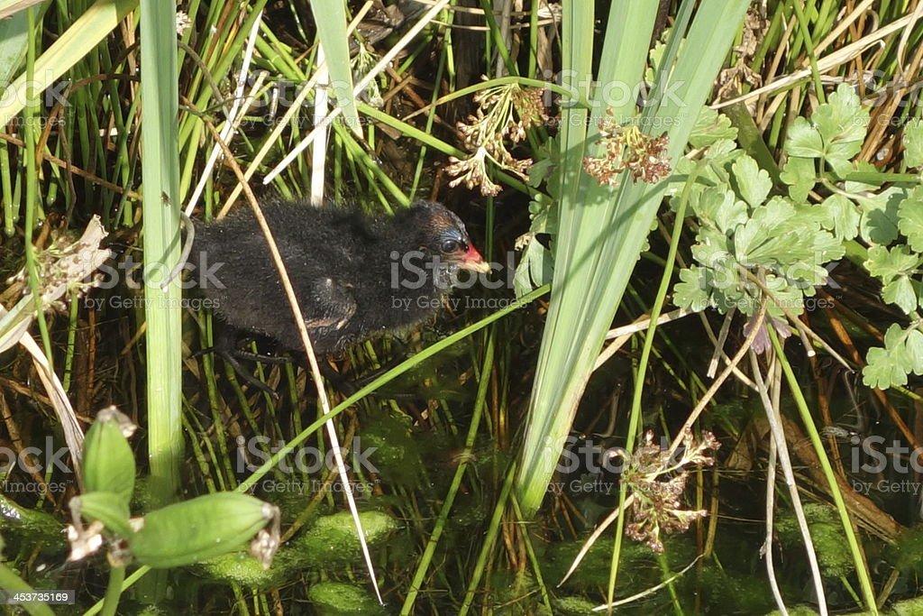 baby moorhen chick in hiding stock photo