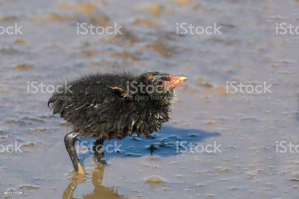 Baby Moorhen stock photo