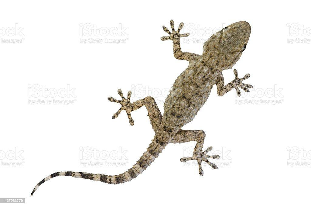 Fotografía de Moruno Gecko Bebé Aislado En Blanco y más banco de ...