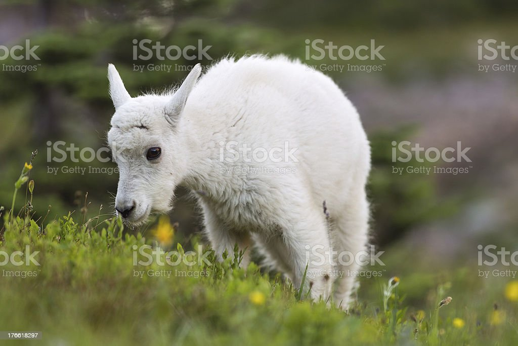 Baby Mountain Goat Grazing royalty-free stock photo