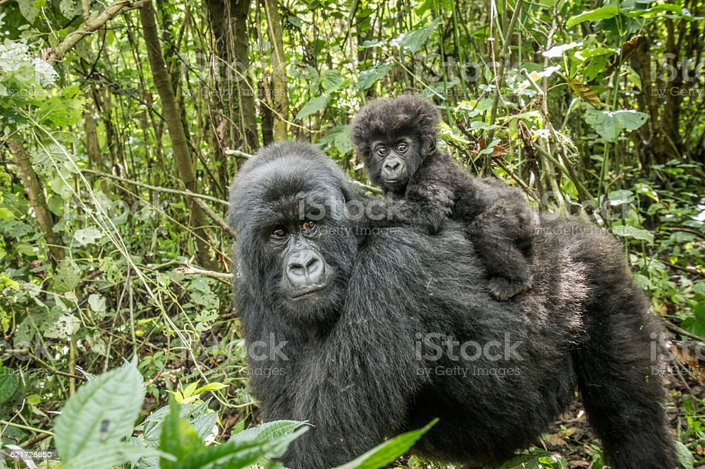 Baby Mountain gorilla sitting on his mother. stock photo
