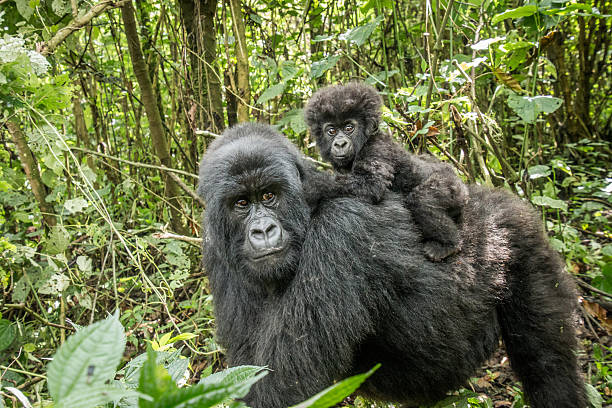 baby mountain gorilla sitting on his mother. - gorilla stock photos and pictures