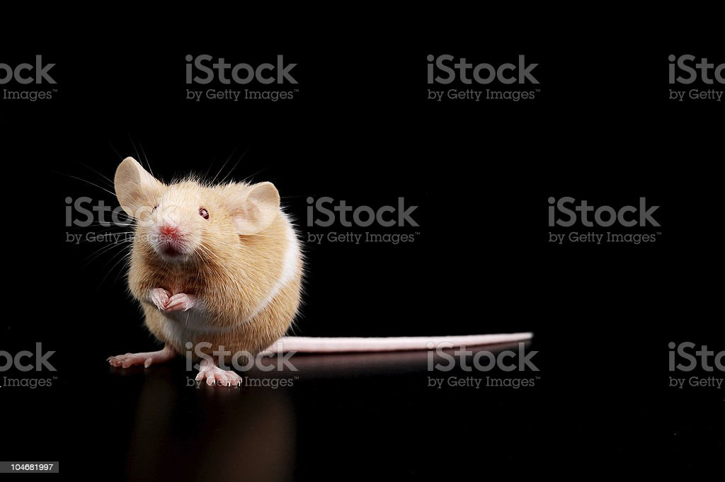 baby  mouse on black background royalty-free stock photo