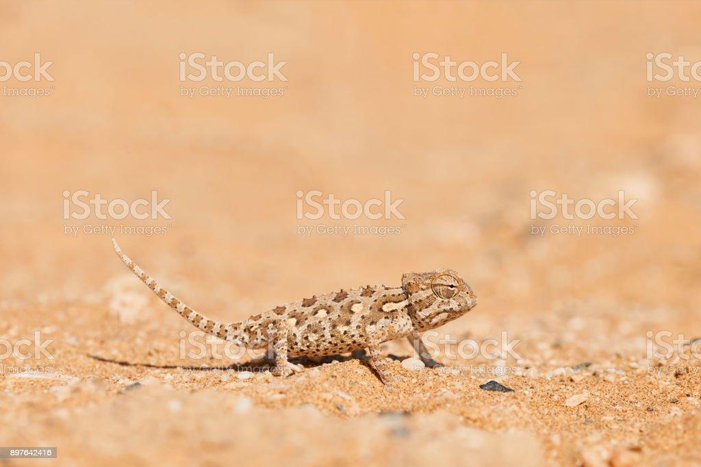 Baby Namaqua chameleon stock photo