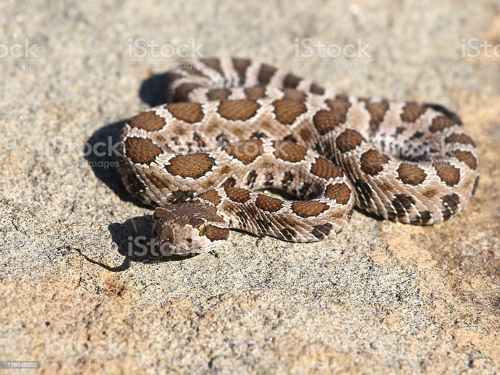 Baby Northern Pacific Rattlesnake stock photo