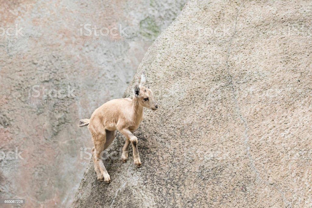 Baby Nubian Ibex climbing up a mountainside stock photo