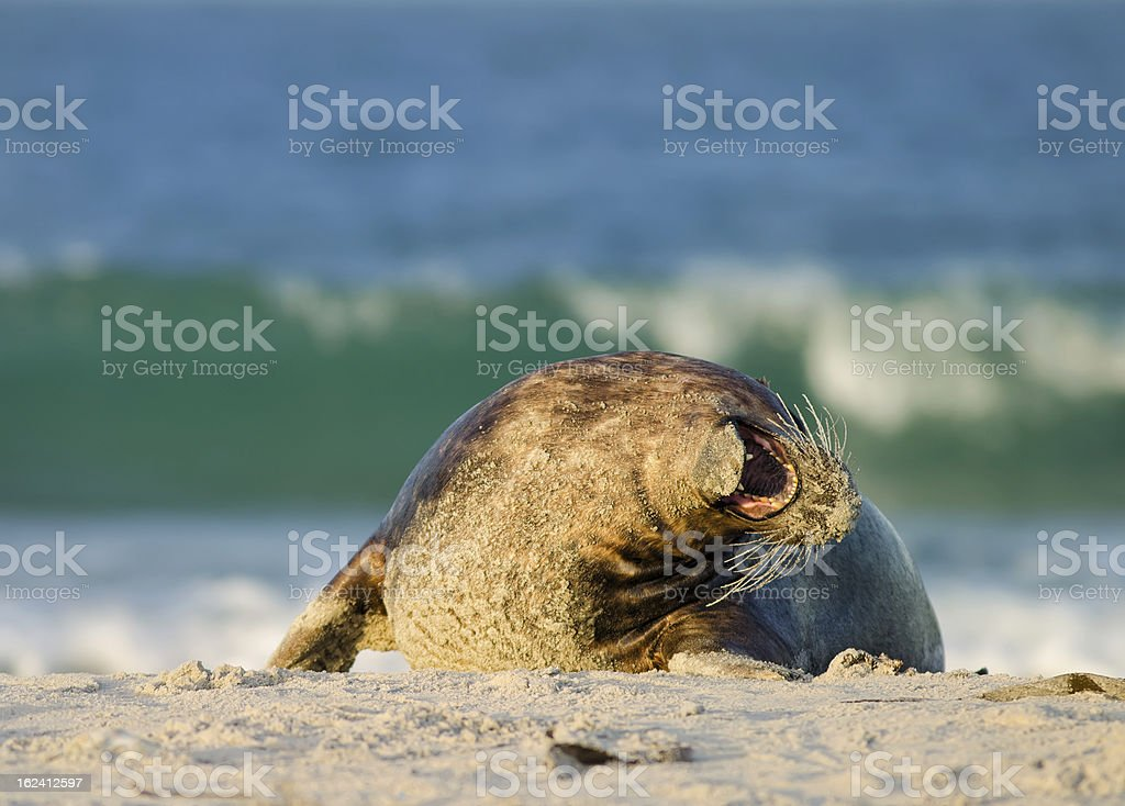 Baby of a grey seal on the beach royalty-free stock photo