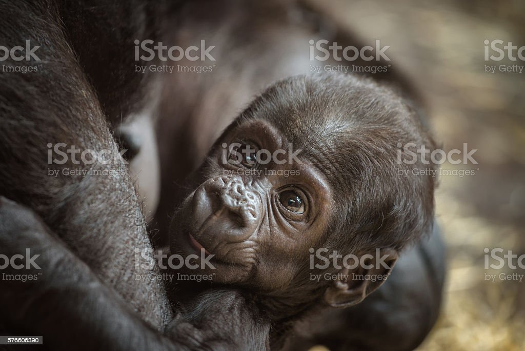 Baby of a  Western lowland gorilla stock photo