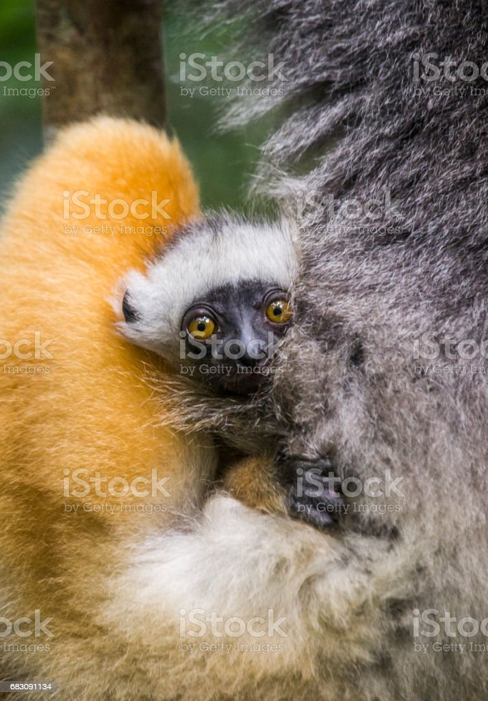 A baby of diademed sifaka. foto de stock royalty-free