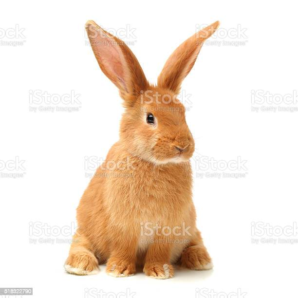 Baby of orange rabbit picture id518322790?b=1&k=6&m=518322790&s=612x612&h=nlwgb4dg1l1re1v4er71djcux82pvjxwguyumg6wspc=