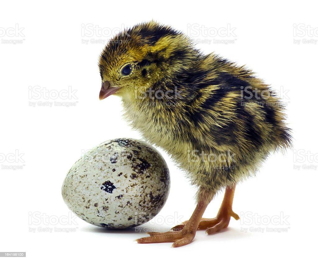 Baby of quail stock photo