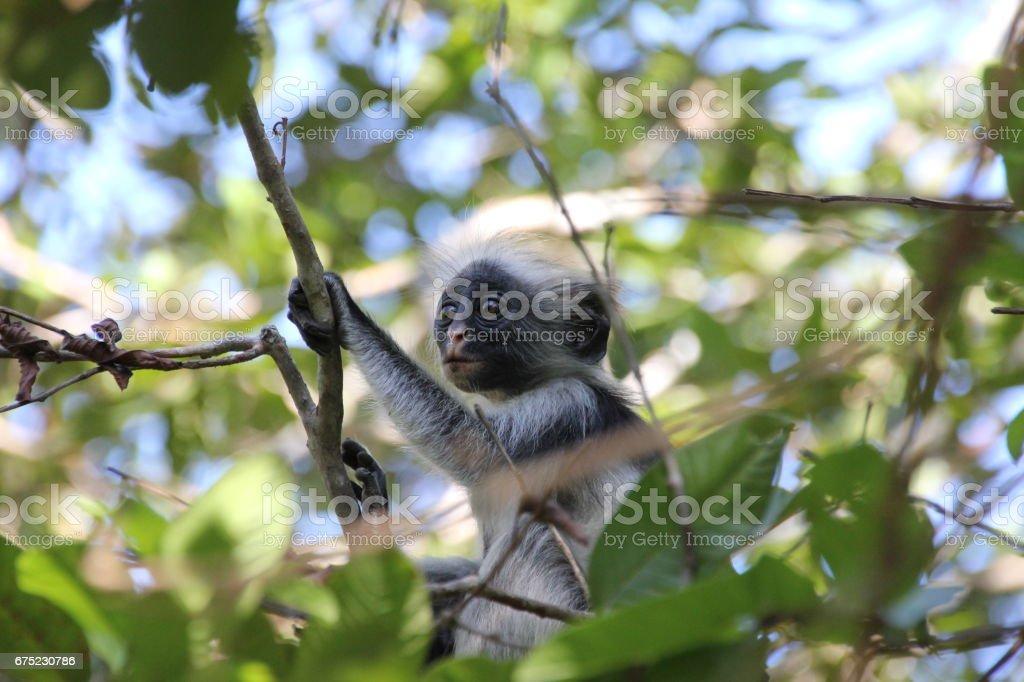 Baby of Red Colobus Monkey, Jozani Chwaka Bay National Park, Zanzibar, Tanzania, Indian Ocean, Africa stock photo