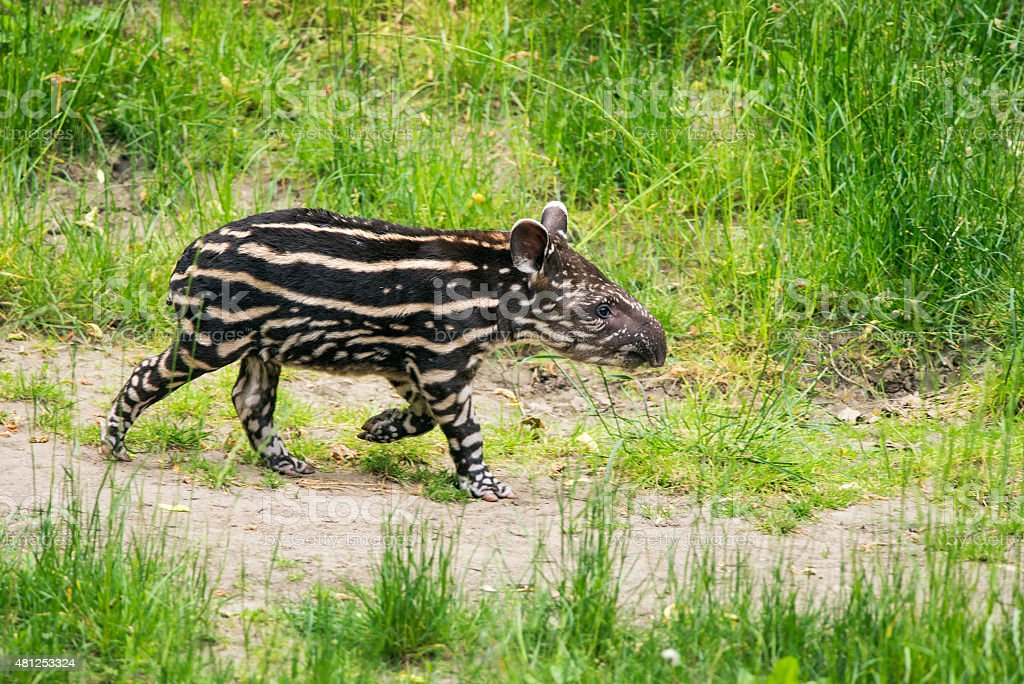 Baby of the endangered South American tapir stock photo