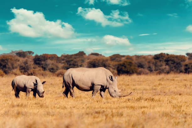 baby of white rhinoceros Botswana, Africa rhino family, mother with baby of white rhinoceros Khama Rhino Sanctuary reservation, Botswana safari wildlife, Wild animal in the nature habitat. This is Africa. rhinoceros stock pictures, royalty-free photos & images