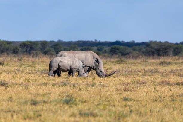baby of white rhinoceros Botswana, Africa mother with baby of white rhinoceros Khama Rhino Sanctuary reservation, endangered species of rhino, Botswana wildlife, Wild animal in the nature habitat. Africa safari white rhinoceros stock pictures, royalty-free photos & images