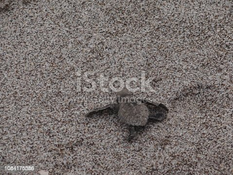 Baby Olive Ridley Sea Turtle fights its way to the sea at Montezuma Beach, Costa Rica
