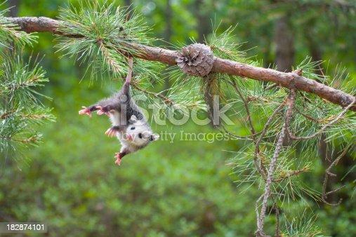 istock Baby Opossum, Pine Barrens, New Jersey 182874101
