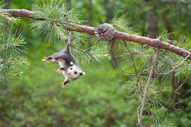 baby opossum, pine barrens, new jersey - jong dier stockfoto's en -beelden