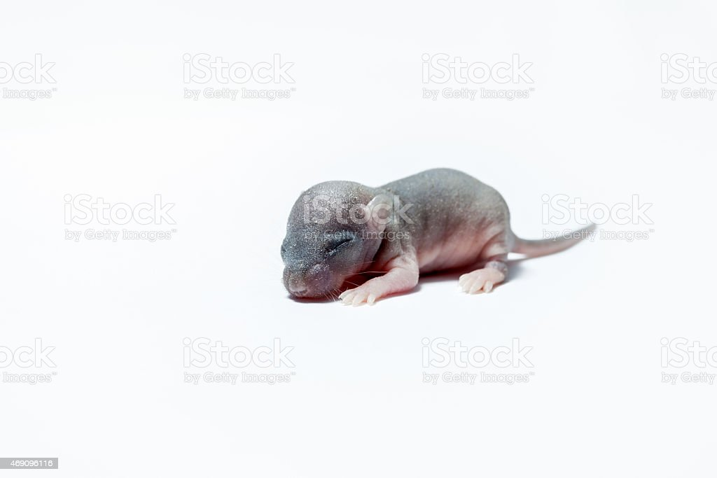 baby or a mouse new born baby of an mouse on white 2015 Stock Photo