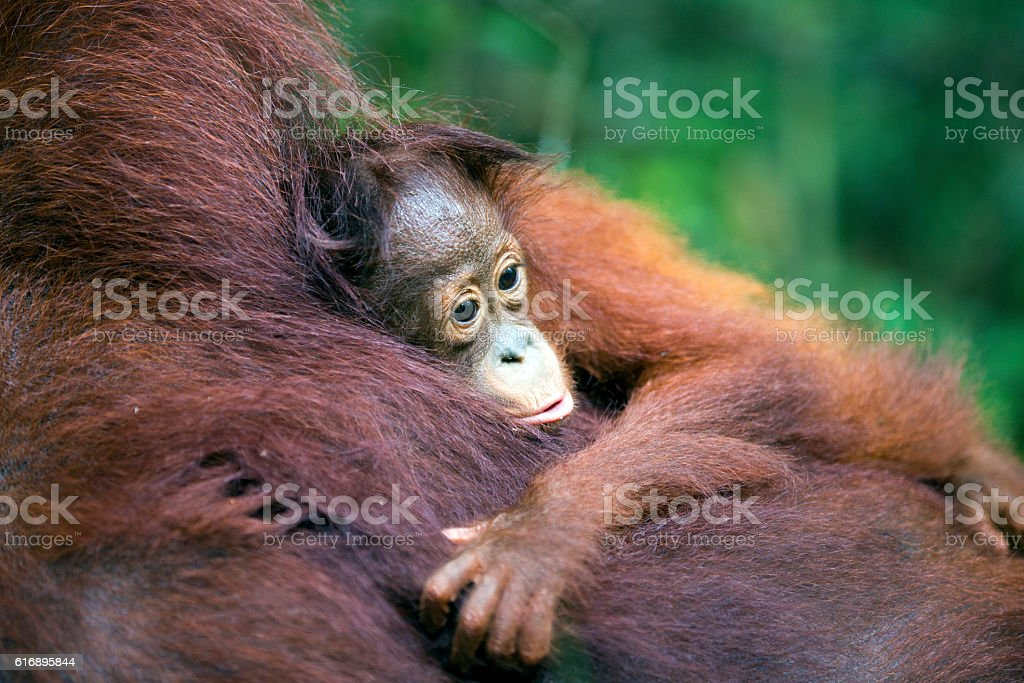 Baby orang-utan hugging its mother stock photo