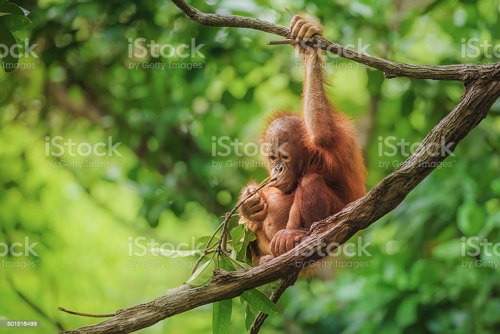 Baby Orangutan in Borneo Image taken of a wild orangutan baby, in a nature reserve in Borneo. Animal Stock Photo